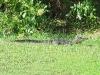 baby-gator